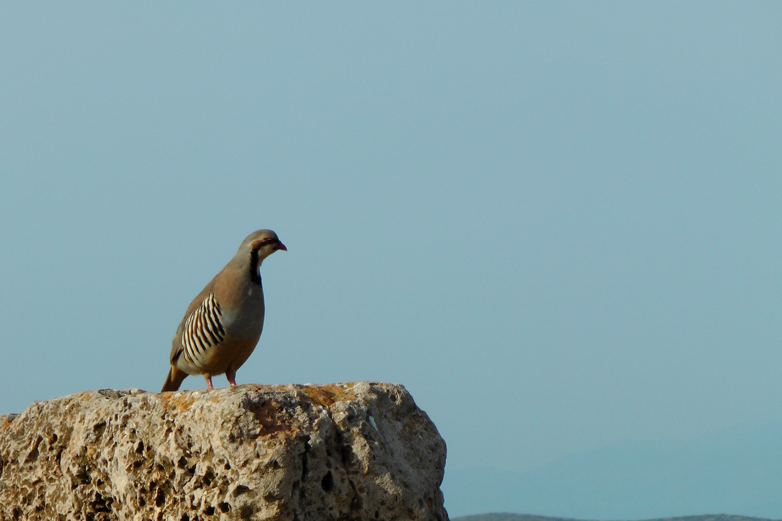 Wild Grouse right by the temple of Poseidon_Sounio Cruise